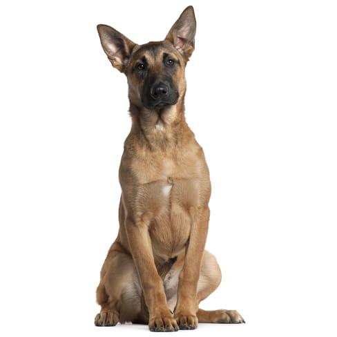 Race de chien Berger Belge Malinois