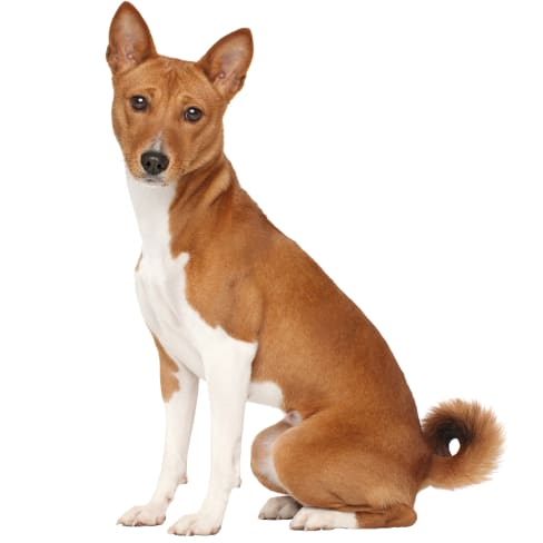Race de chien Basenji