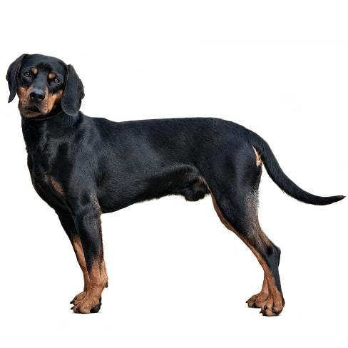 Race de chien Brachet autrichien noir et feu