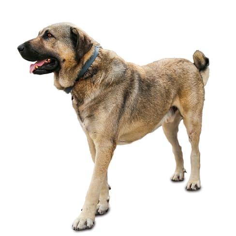 Race de chien Berger d'Anatolie