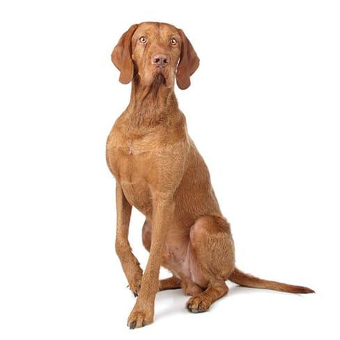 Race de chien Braque hongrois à poil dur
