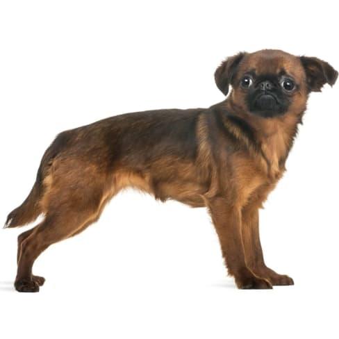 Race de chien Petit Brabançon