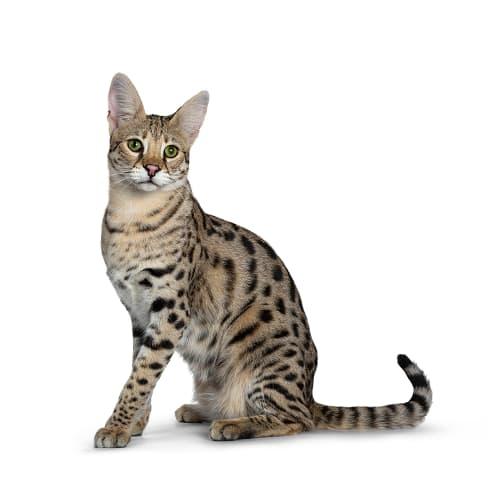 Race de chat Savannah