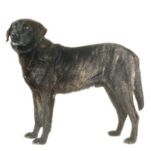 Race de chien Cao de Castro Laboreiro