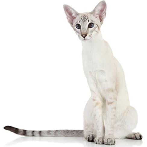 Race de chat Javanais