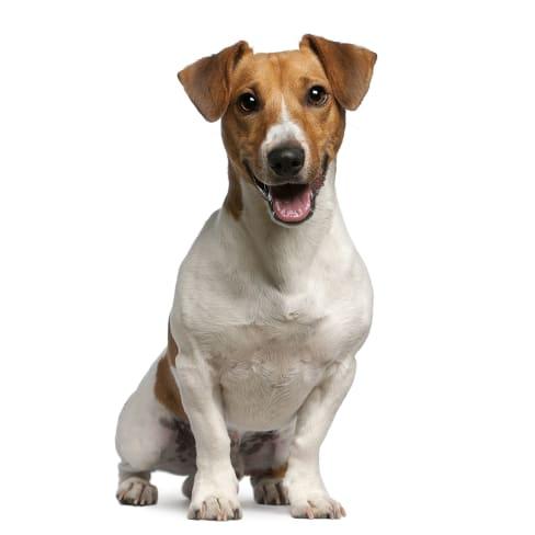 Race de chien Jack Russell Terrier