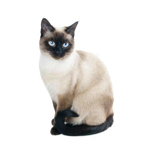 Race de chat Siamois