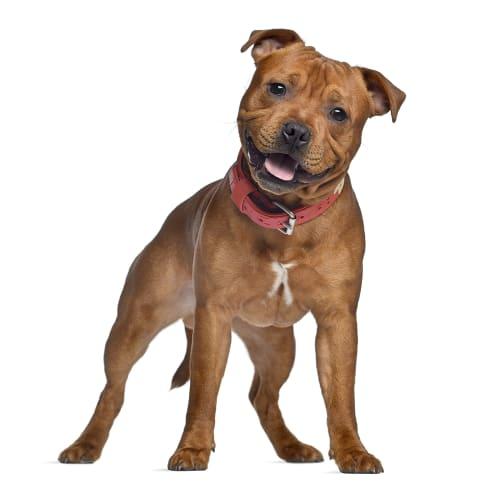 Race de chien Staffordshire Bull Terrier