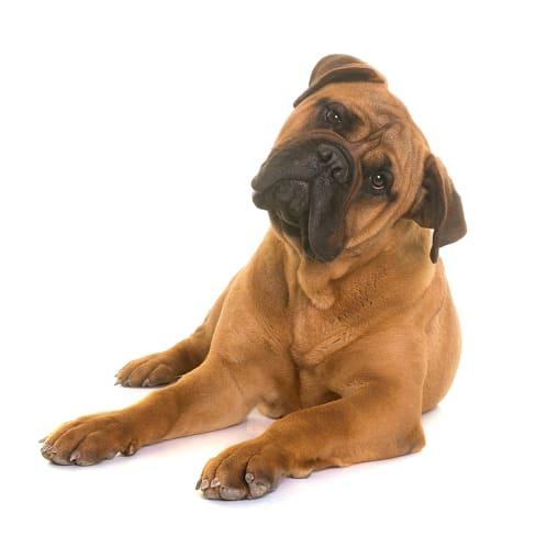 Race de chien Bullmastiff