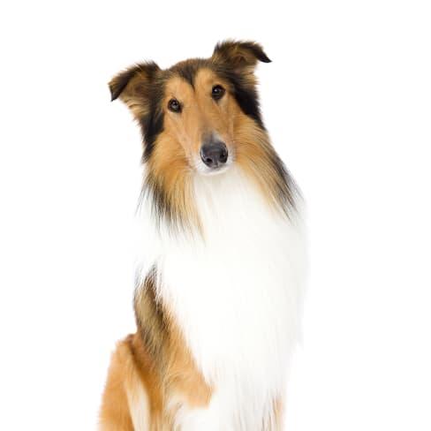 Race de chien Colley à poil long