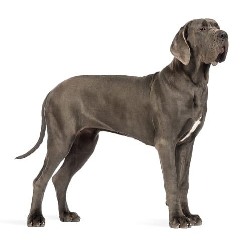 Race de chien Dogue Allemand