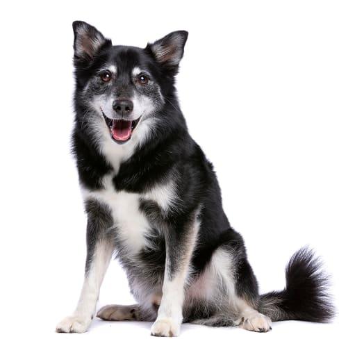 Race de chien Berger Islandais