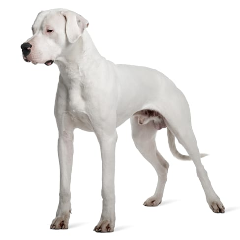 Race de chien Dogue Argentin