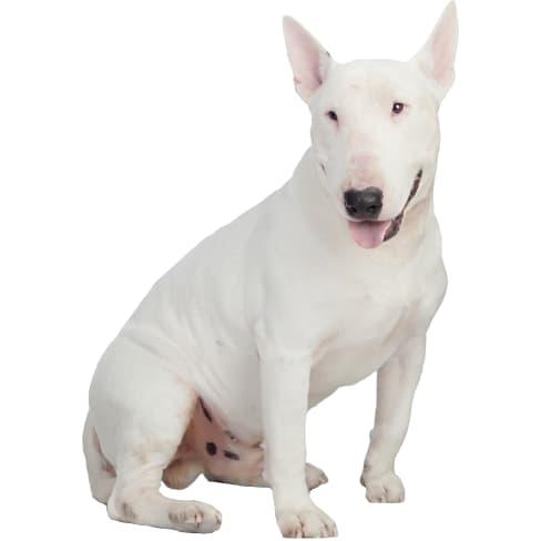 Race de chien Bull Terrier
