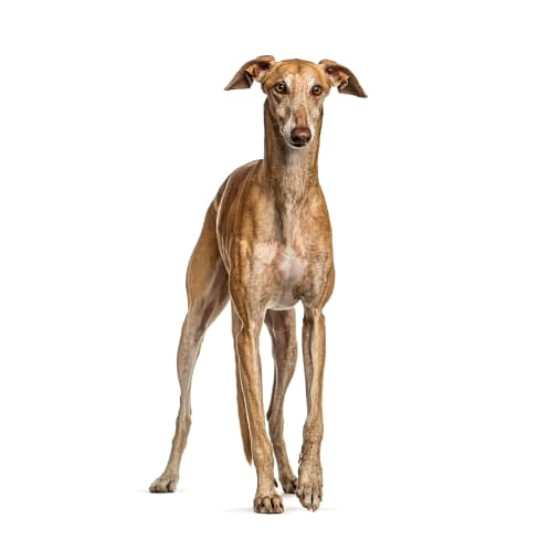 Race de chien Greyhound