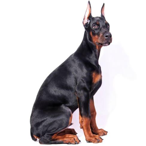 Race de chien Dobermann