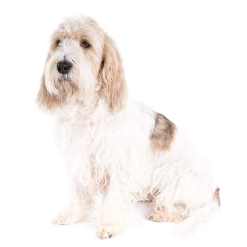 Race de chien Grand Basset Griffon vendéen