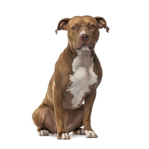 Race de chien American Staffordshire Terrier