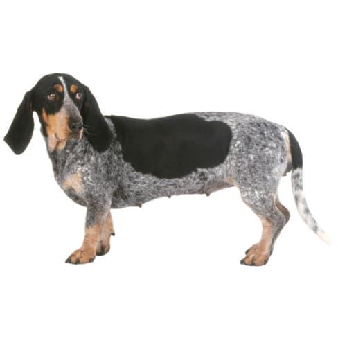 Race de chien Basset Bleu de Gascogne