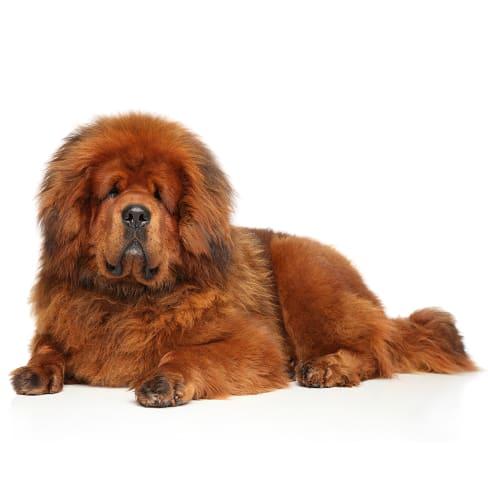 Race de chien Dogue du Tibet