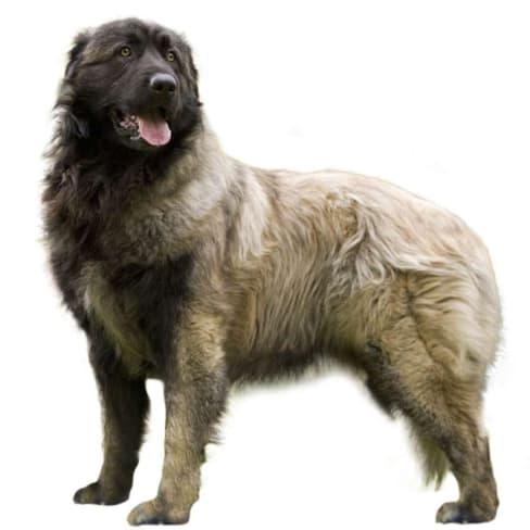 Race de chien de montagne portugais
