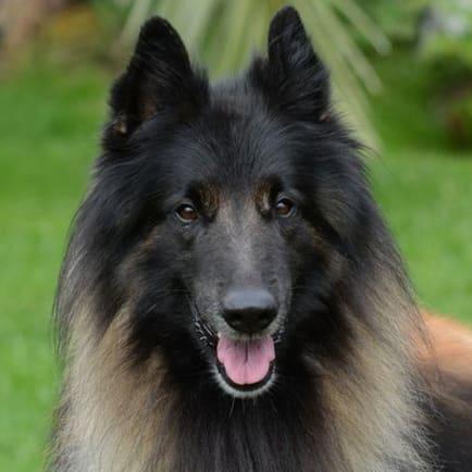 Berger belge race de chien