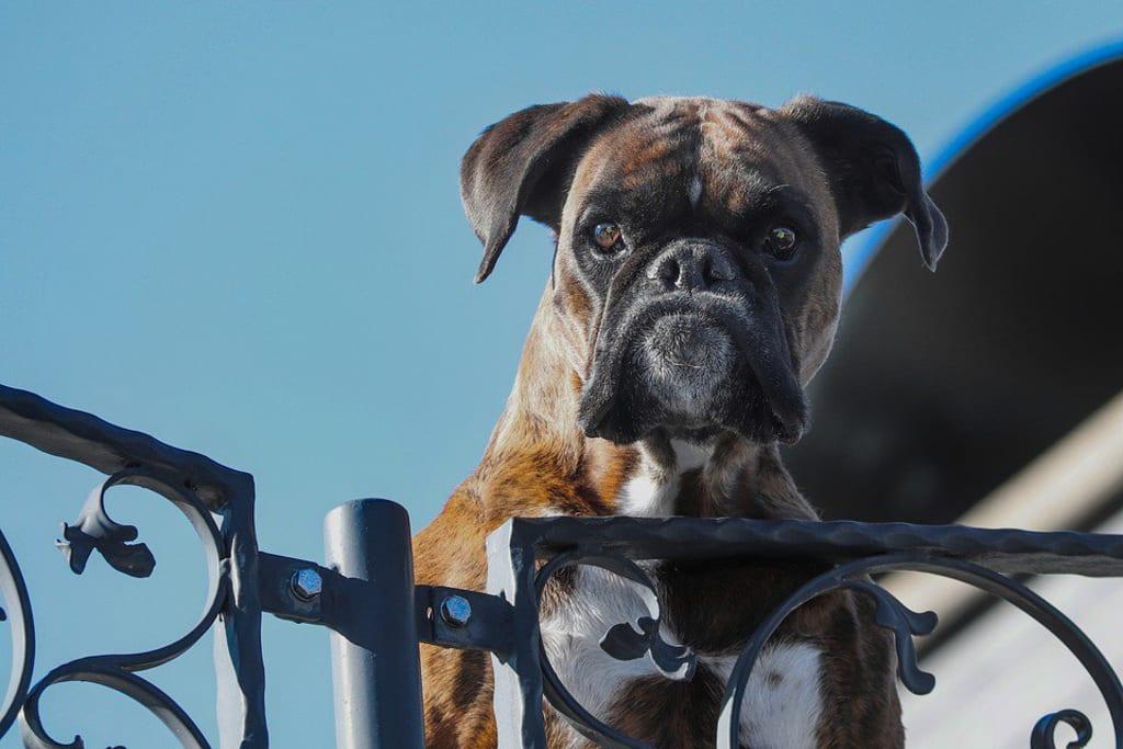 Garde de chien - chien - Animaux - 960x640 - JPG