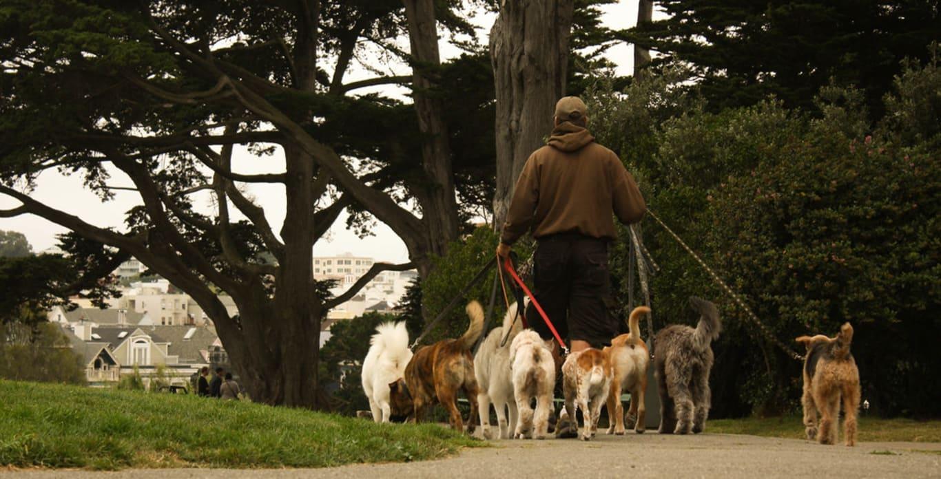 Dog sitter promène chiens