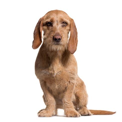 Race de chien Basset Fauve de Bretagne