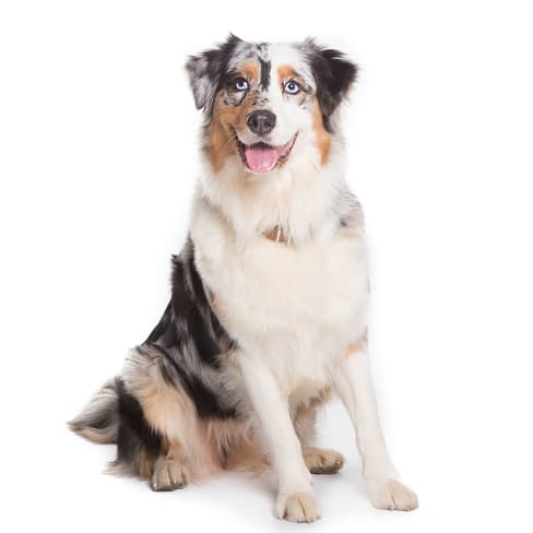 Race de chien Berger Australien
