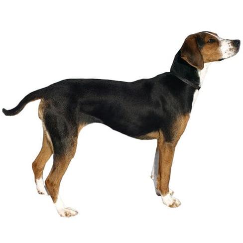 Race de chien courant Finnois
