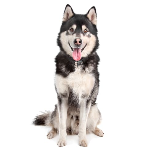 Race de chien Malamute de l'Alaska
