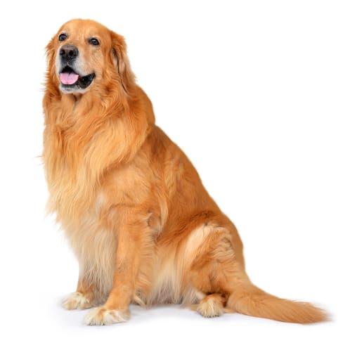Race de chien Hovawart