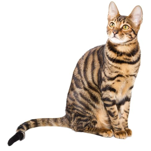 Race de chat Toyger