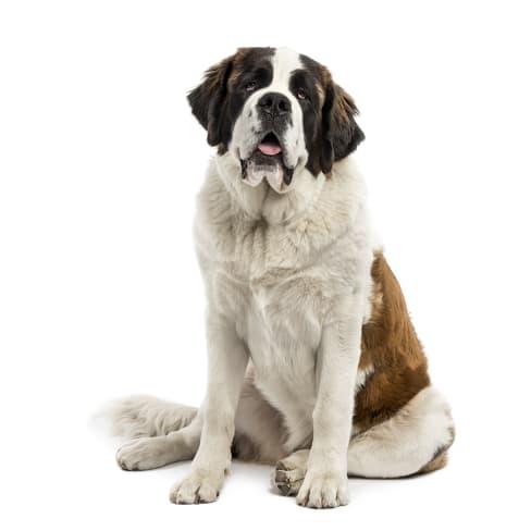 Race de chien Saint Bernard