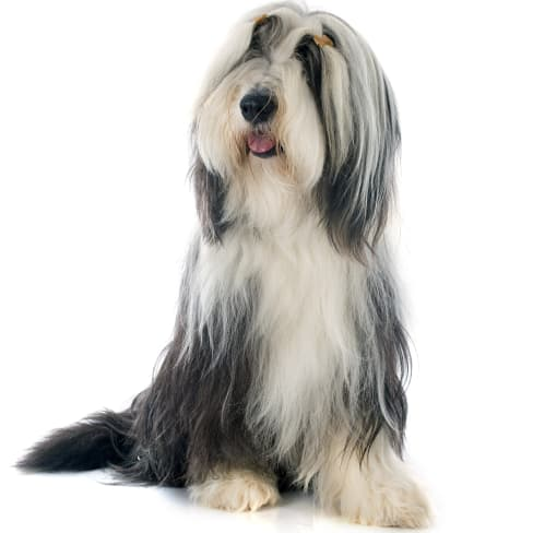 Race de chien Bearded Collie