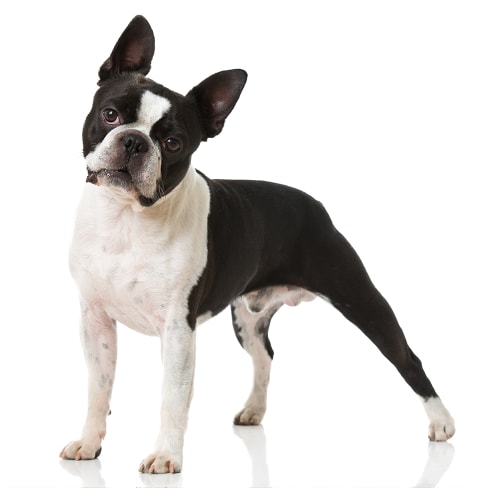 Race de chien Boston Terrier