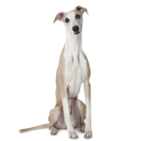 Race de chien Whippet