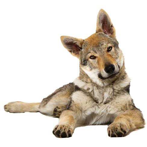 Race de chien Chien Loup Tchécoslovaque