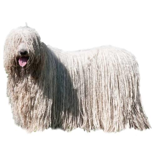 Race de chien Komondor