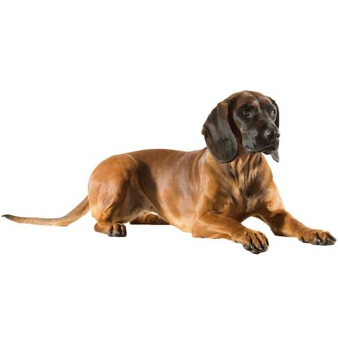 Race de chien Brachet Tyrolien