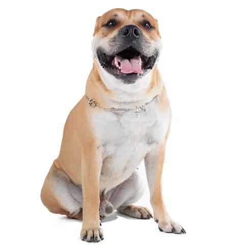 Race de chien Dogue de Majorque