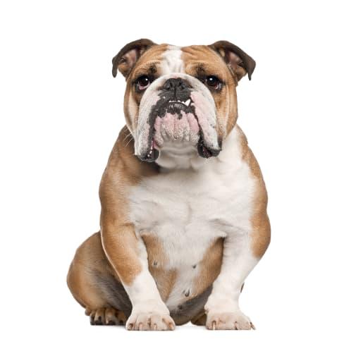 Race de chien Bulldog Anglais
