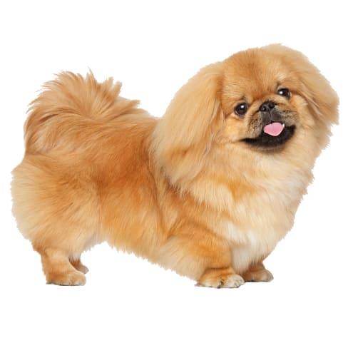 Race de chien Pékinois