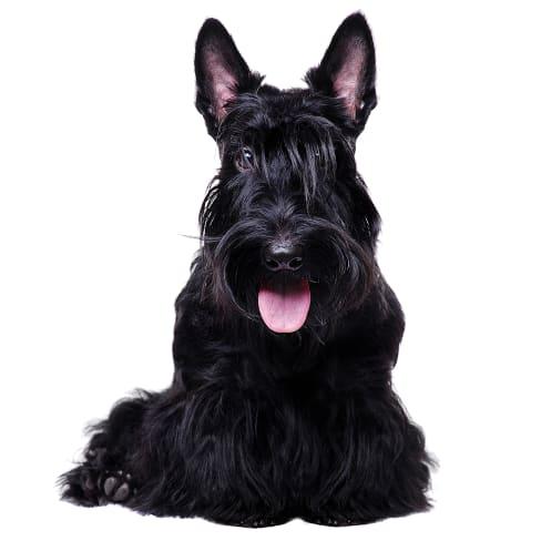 Race de chien Terrier Ecossais