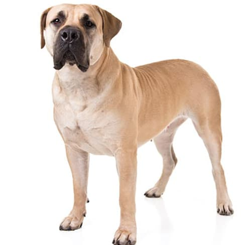 Race de chien Boerbull