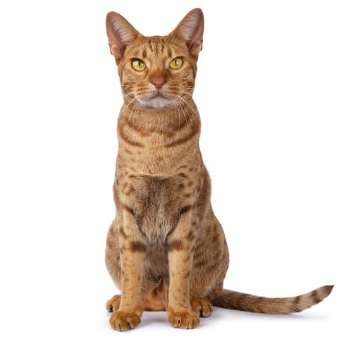 Race de chat Ocicat