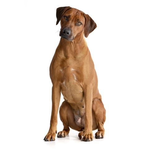 Race de chien Rhodesian-Ridgeback