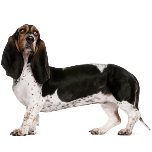 Race de chien Basset Artésien Normand
