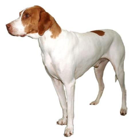 Race de chien Braque Saint-Germain